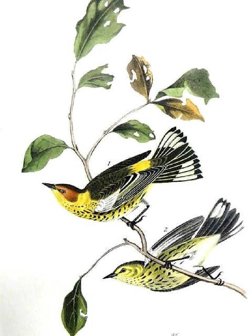 J.J. Audubon. Octavo. Cape May Wood Warbler No.85