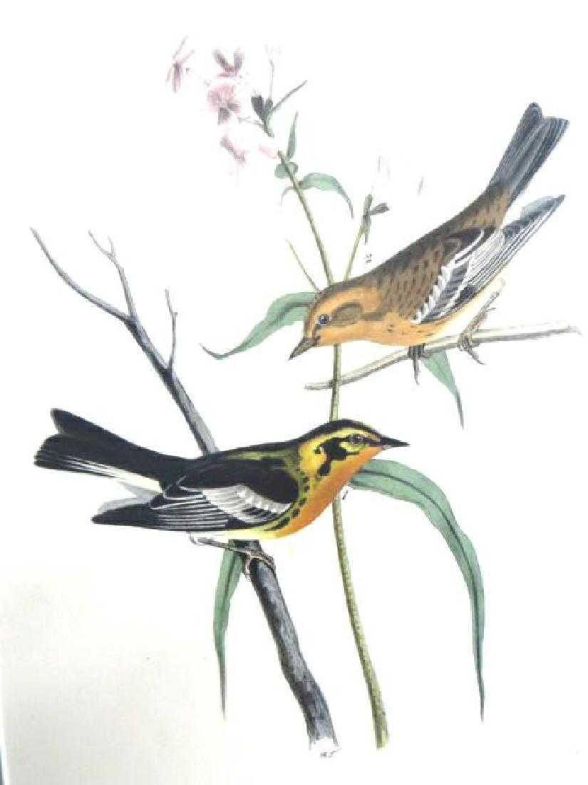 J.J. Audubon. Octavo. Black Burnian Wood-Warbler No.87