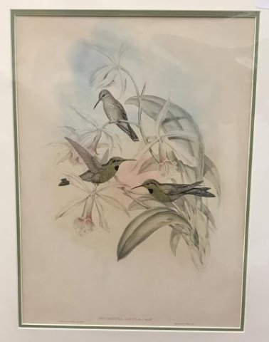 J. Gould Hand Colored Lithograph.