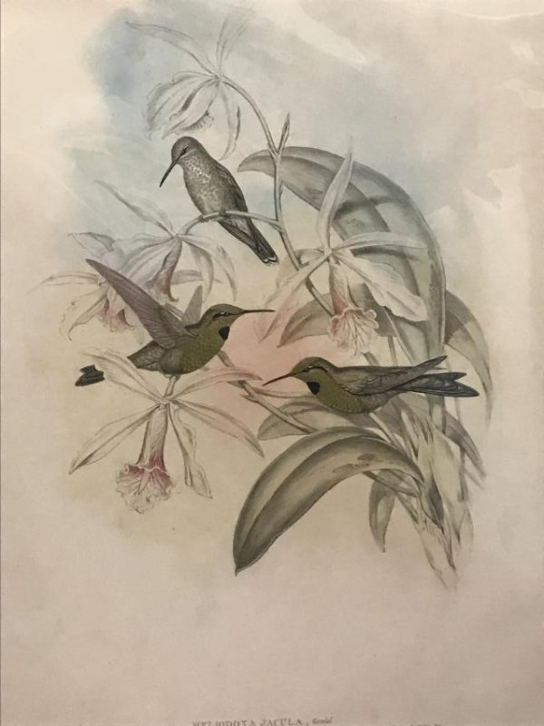 J. Gould Hand Colored Lithograph. - 2