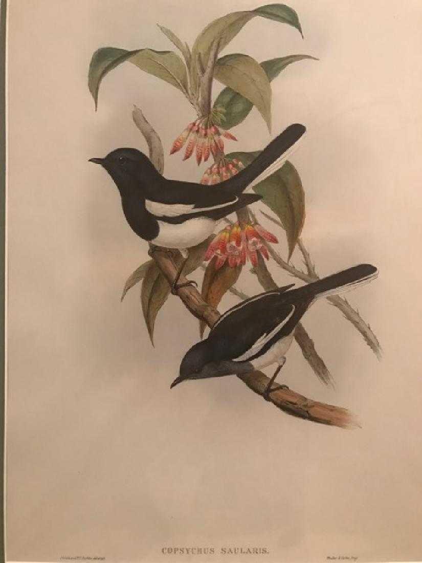 J. Gould Lithograph: Dial Bird