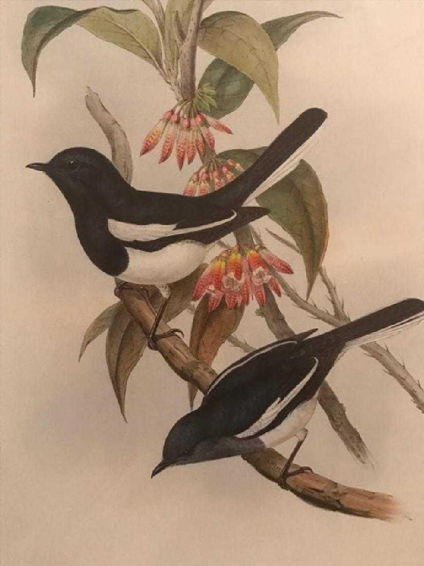 J. Gould Lithograph: Dial Bird - 2