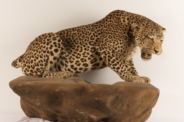 TAXIDERMY SPECIMEN OF A LEOPARD