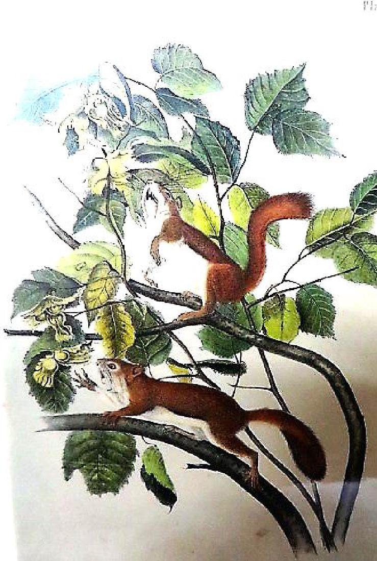 J.J. Audubon. Octavo. Hudson's Bay Squirrel. No.14