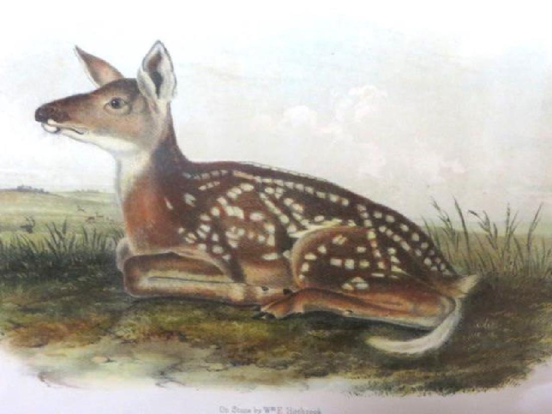 J.J. Audubon. Octavo. Common American Deer. No.81