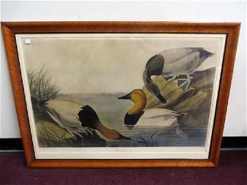 J. J. Audubon. Canvas Back Duck. Plate 301