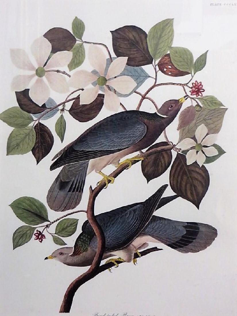 J. J. Audubon. Band-Tailed Pigeon. Plate 367 - 2