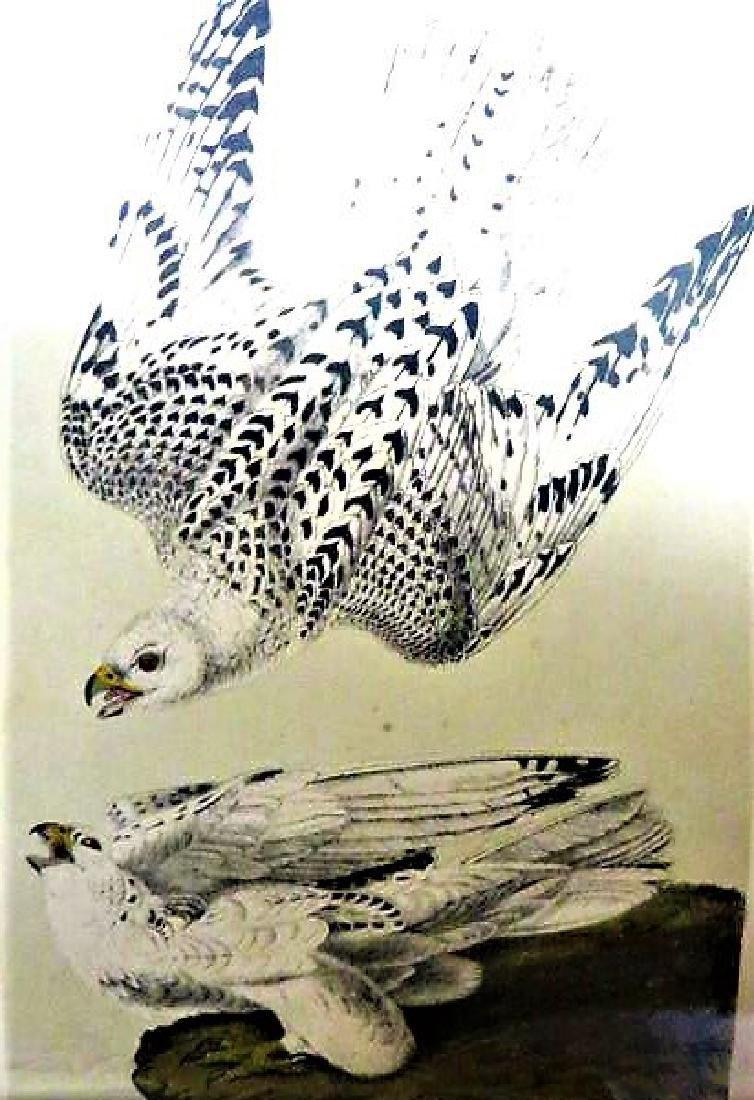 J.J. Audubon. Octavo. Iceland or Gyr Falcon No.19