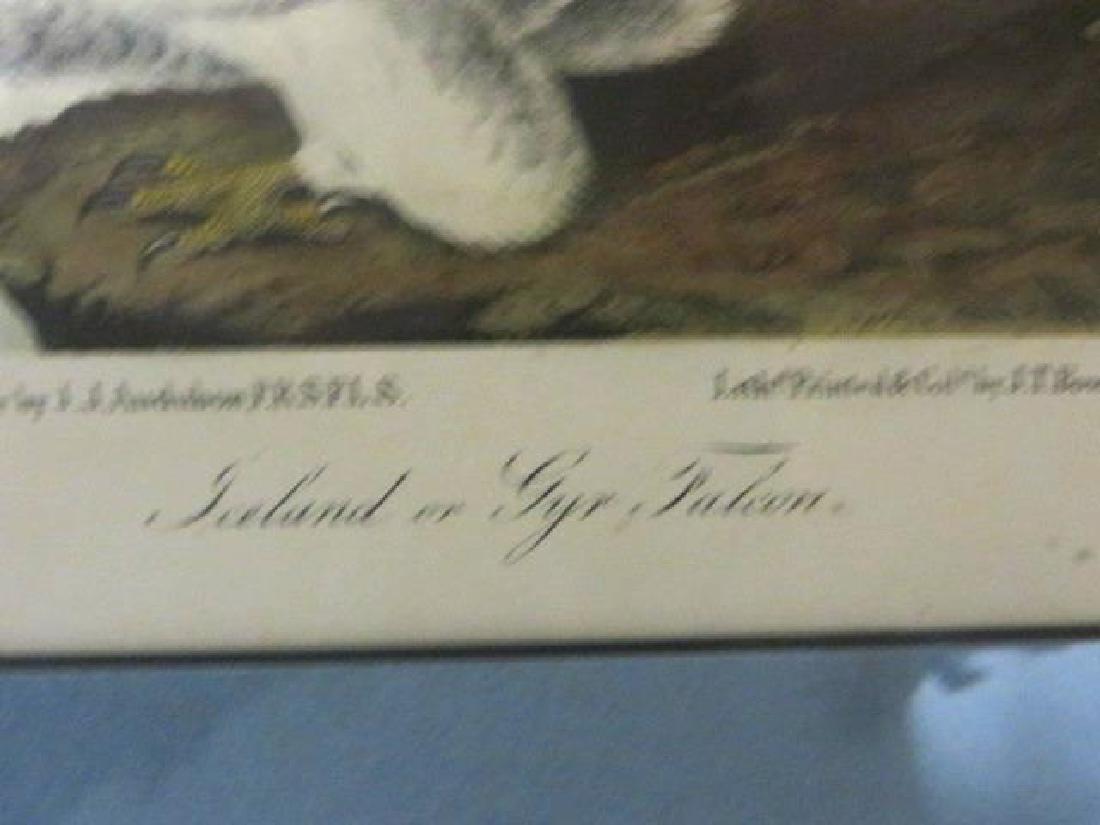 J.J. Audubon. Octavo. Iceland or Gyr Falcon No.19 - 2