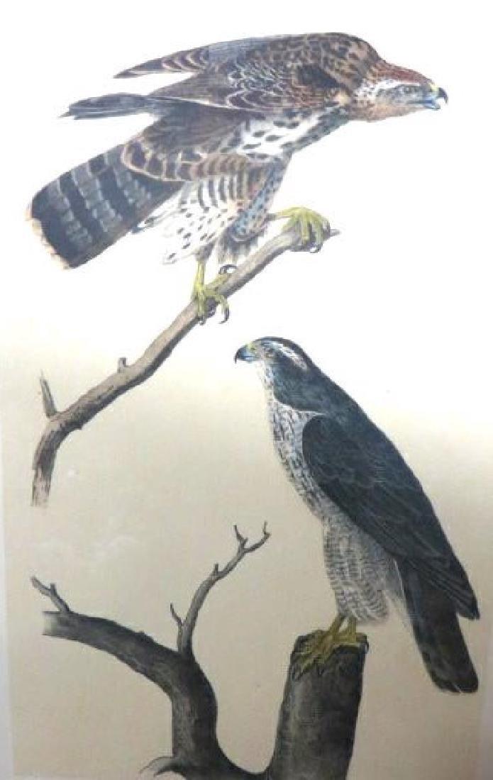J.J. Audubon. Octavo. Gos Hawk No.23