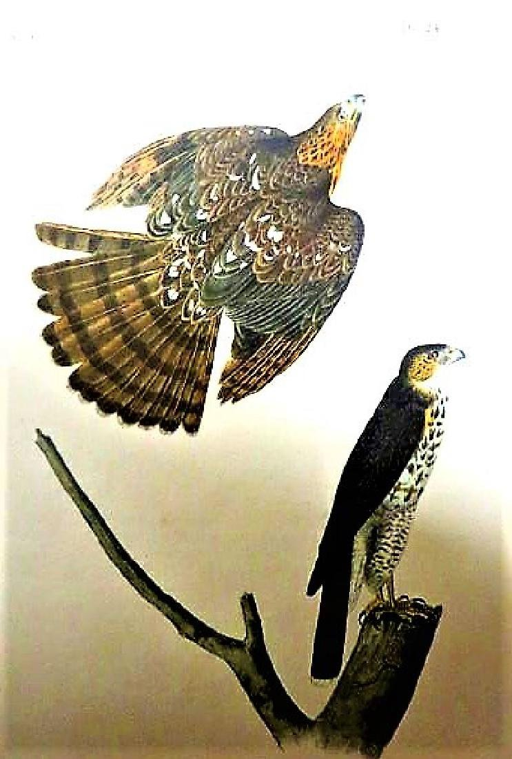 J.J. Audubon. Octavo. Coopers Hawk No.24
