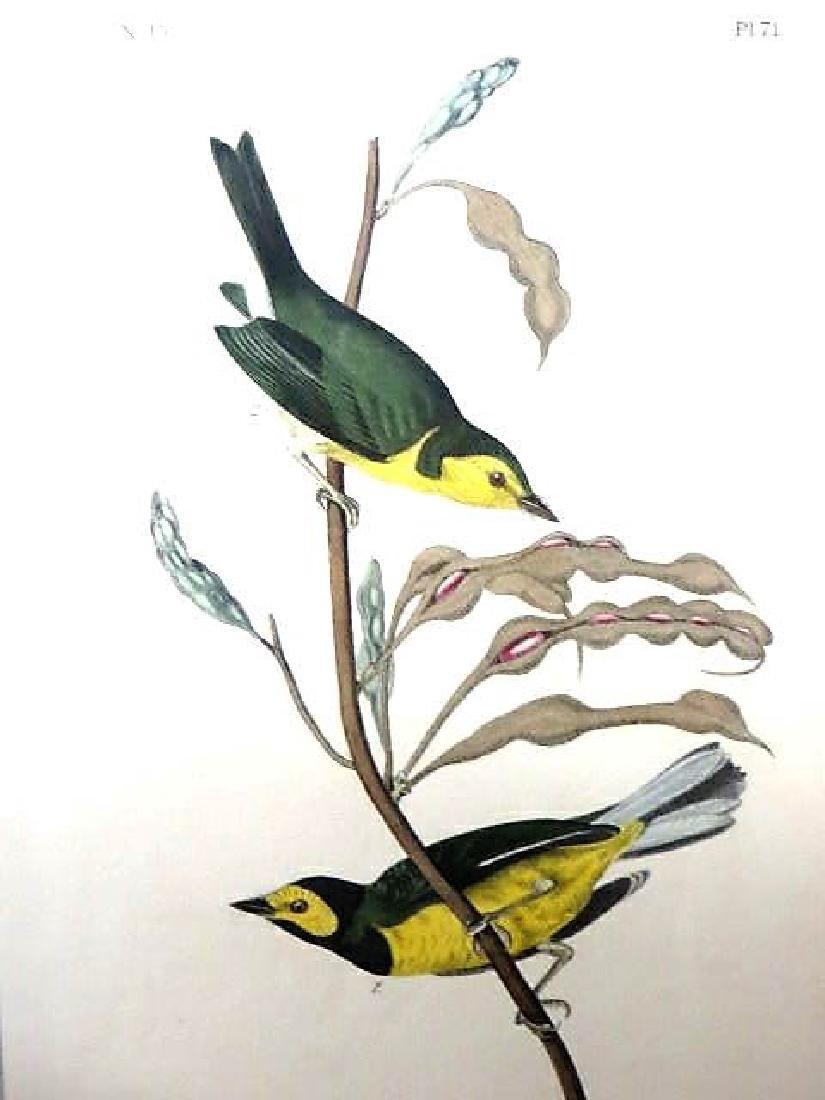 J.J. Audubon. Octavo. Hooded Flying Warbler No.71