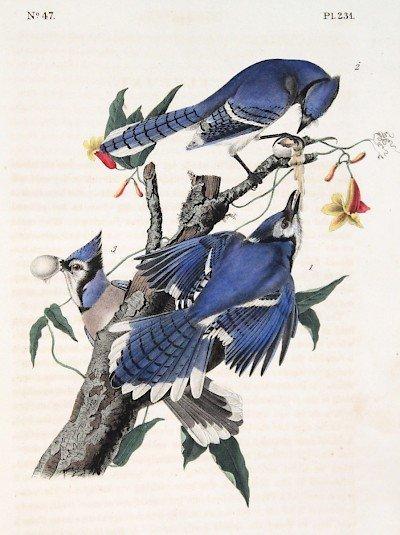 J.J. Audubon. Octavo. Blue Jay No.321