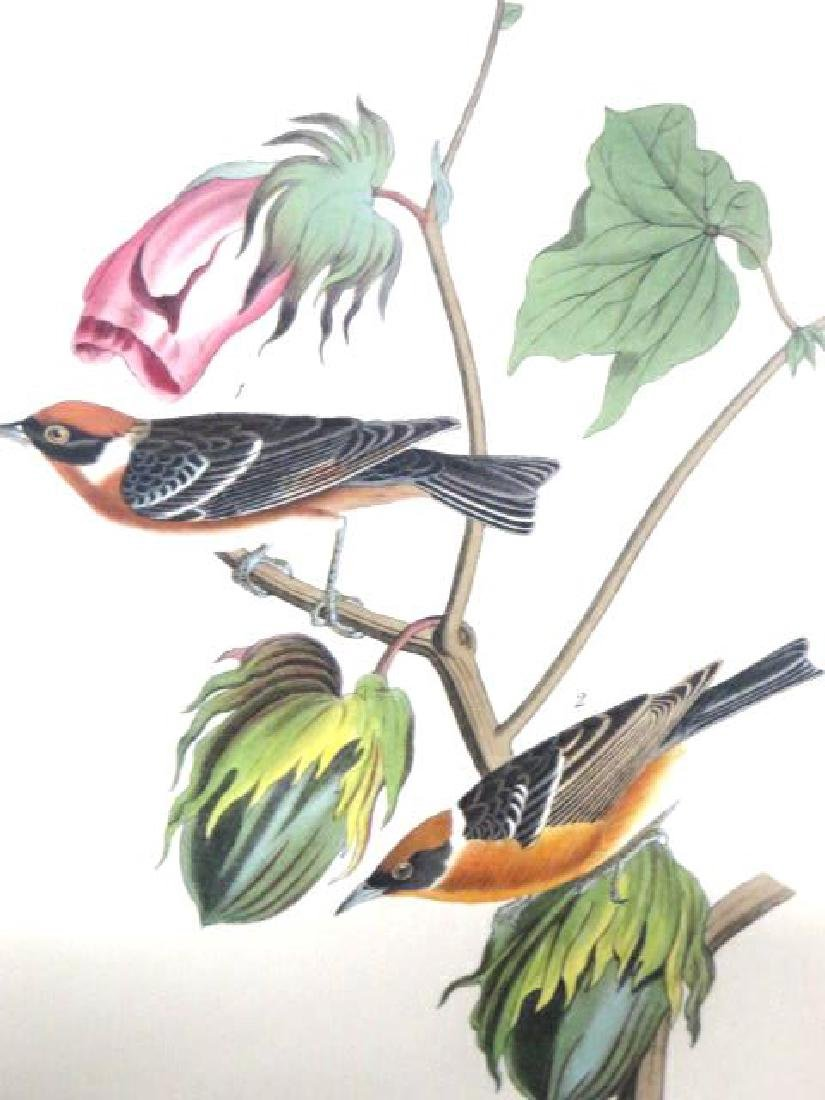 J.J. Audubon. Octavo. Bay Breasted Wood Warbler No.80