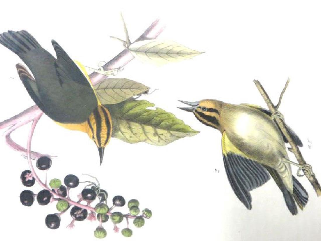 J.J. Audubon. Octavo. Worm-Eating Swamp Warbler No.105