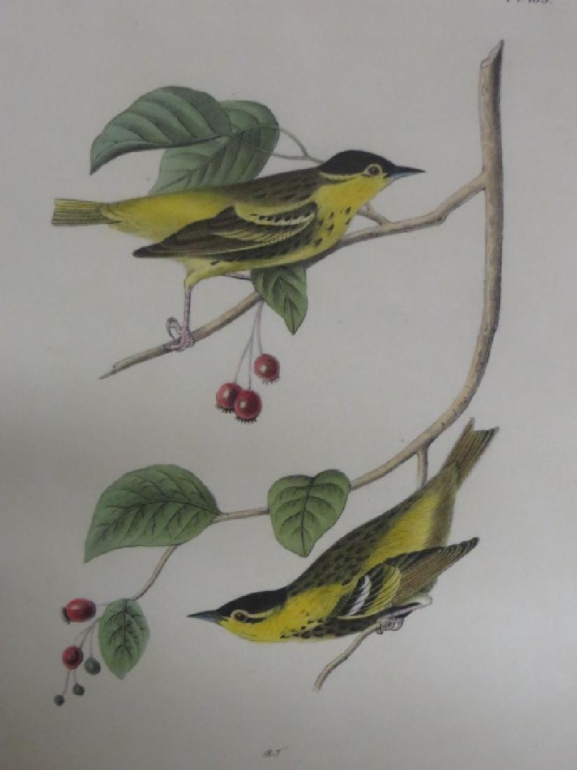J.J. Audubon. Octavo. Carbonated Swamp Warbler No.109