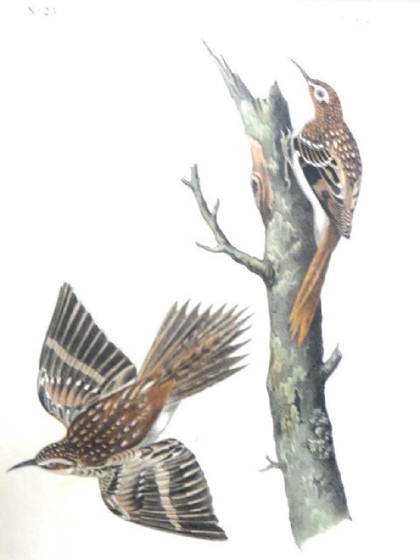 J.J. Audubon. Octavo. Brown Tree-Creeper No.115