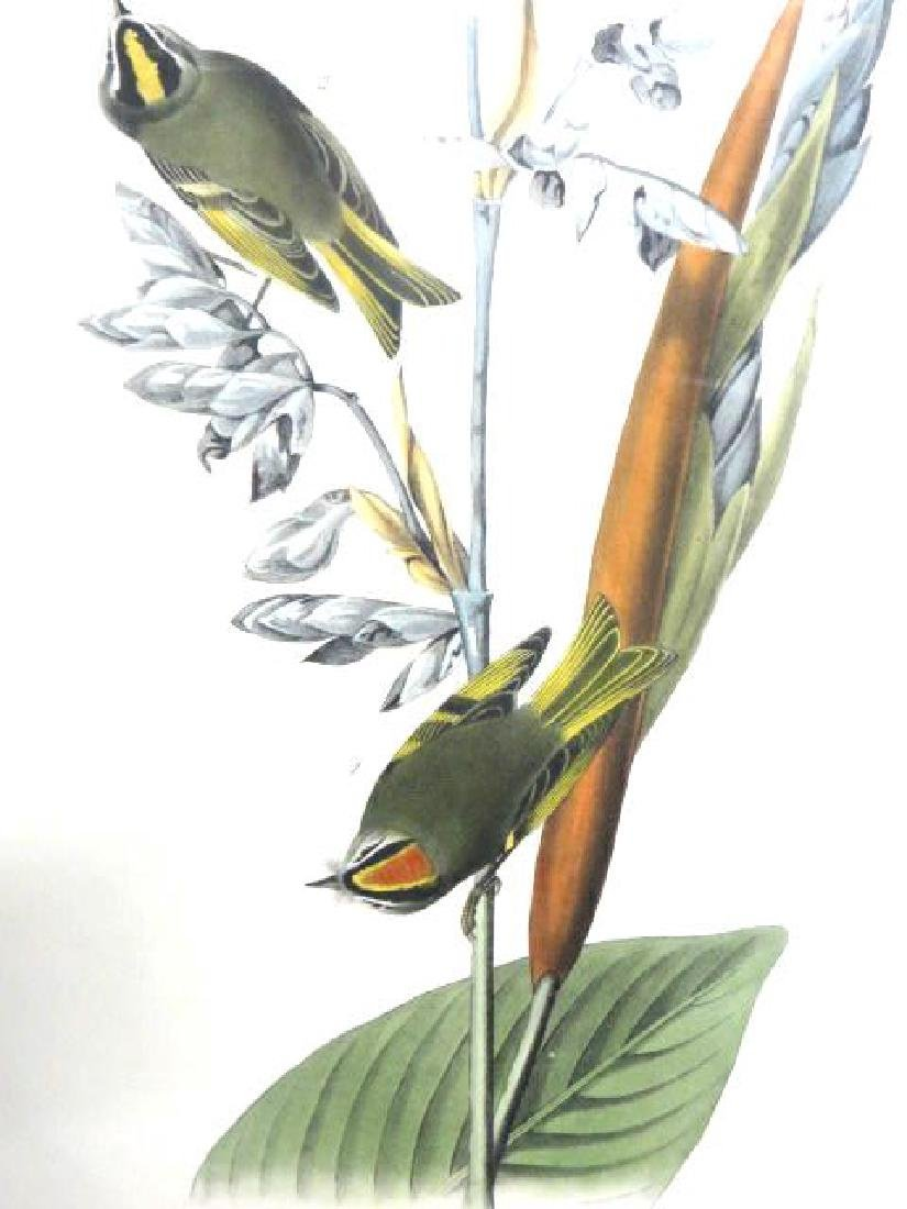 J.J. Audubon. Octavo. American Golden Crested Kinglet