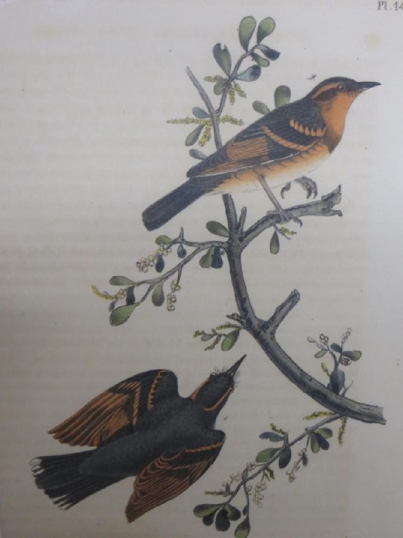J.J. Audubon. Octavo. Varied Thrush No.143
