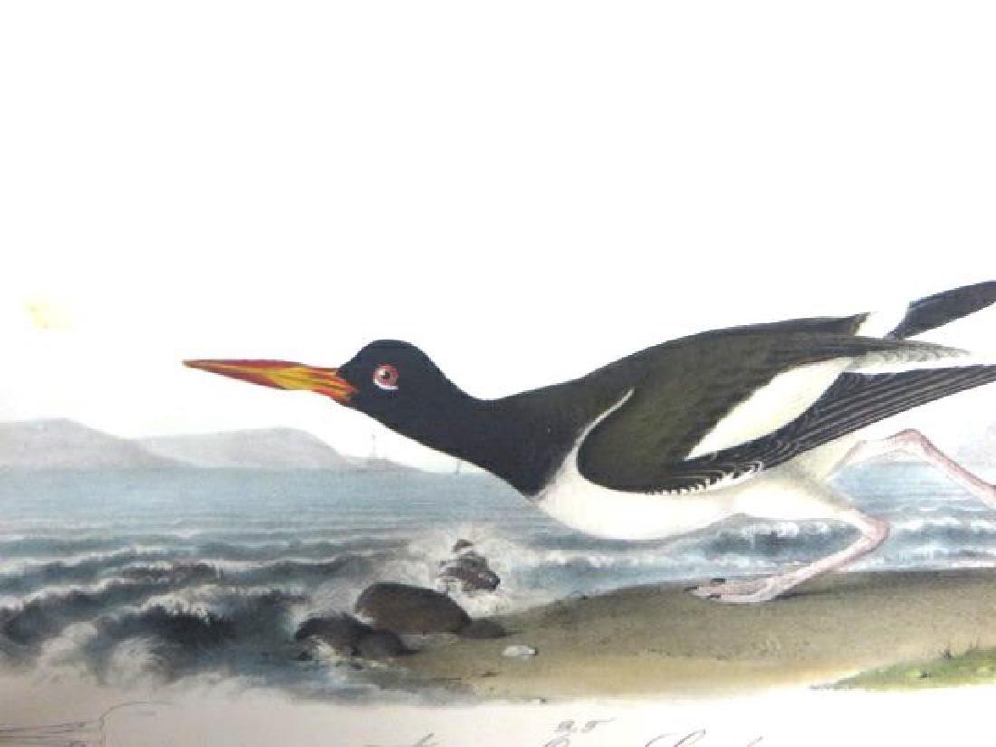 J.J. Audubon. Octavo. American Oyster Catcher No.324