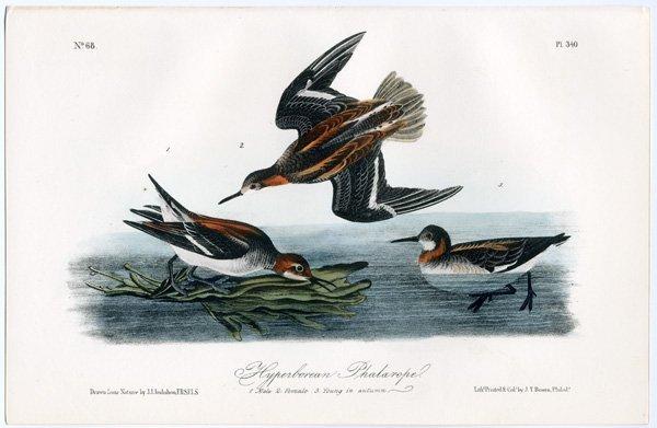 J.J. Audubon. Octavo. Red-Breasted Sandpiper No.328