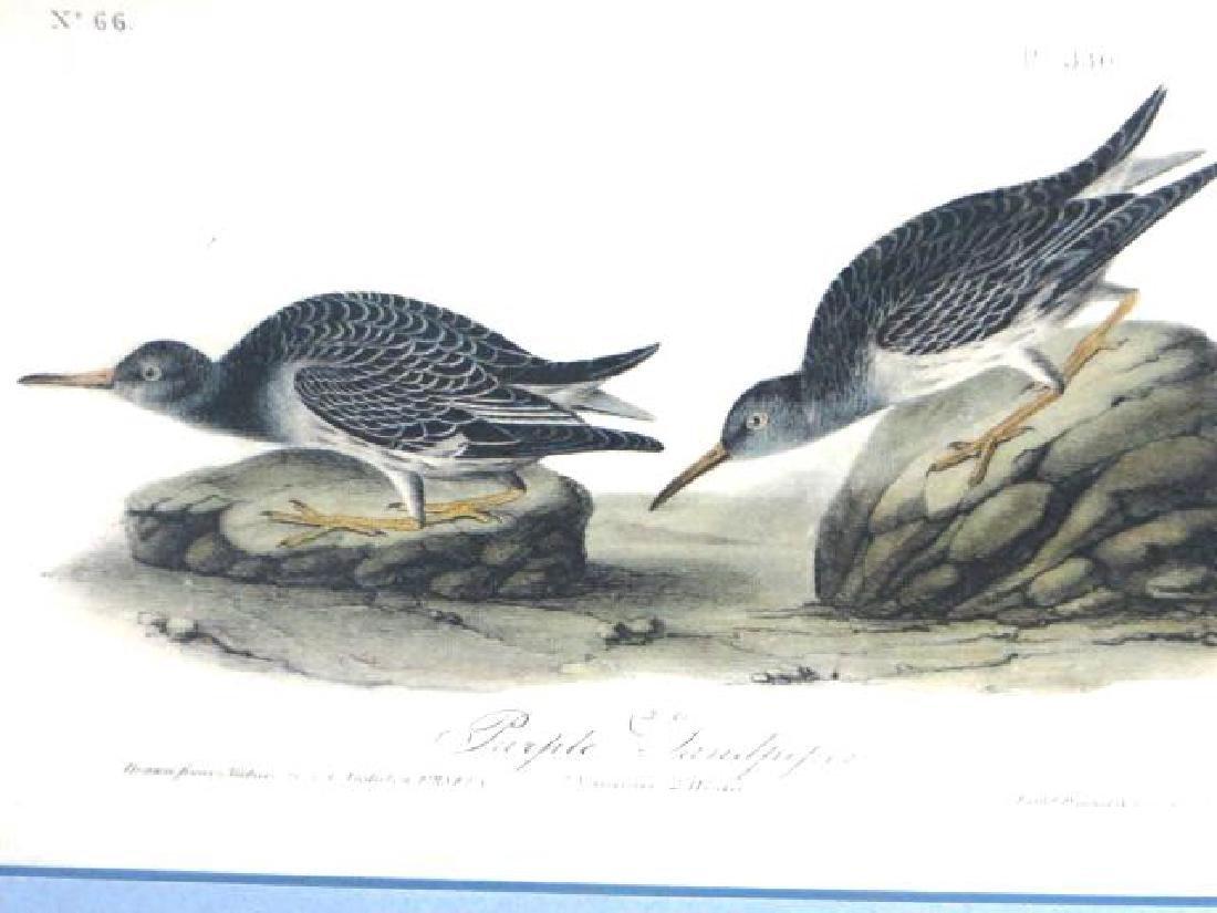 J.J. Audubon. Octavo. Purple Sandpiper No.330