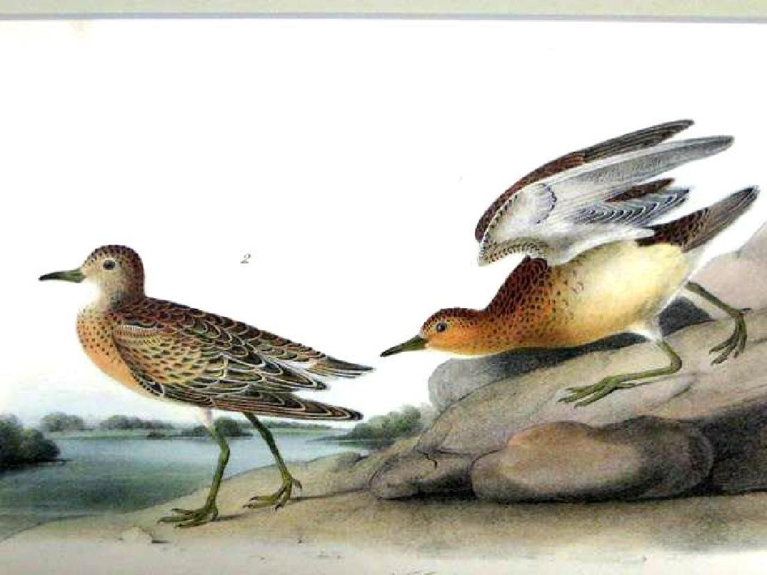 J.J. Audubon. Octavo. Buff Breasted Sandpiper No.331