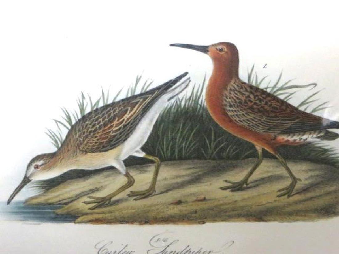 J.J. Audubon. Octavo. Curlew Sandpiper No.333