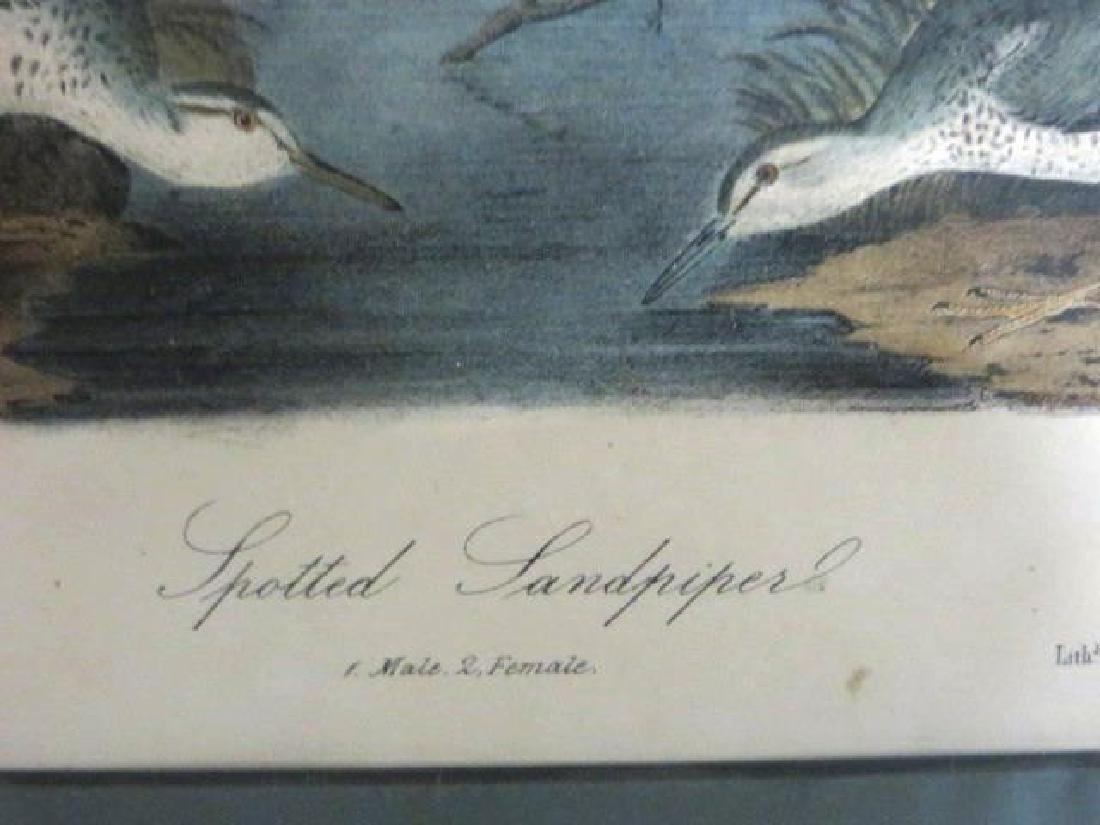 J.J. Audubon. Octavo. Spotted Sandpiper No.342 - 2