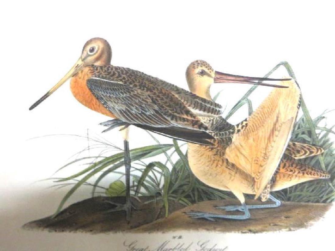 J.J. Audubon. Octavo. Great Marbled Godwit No.348