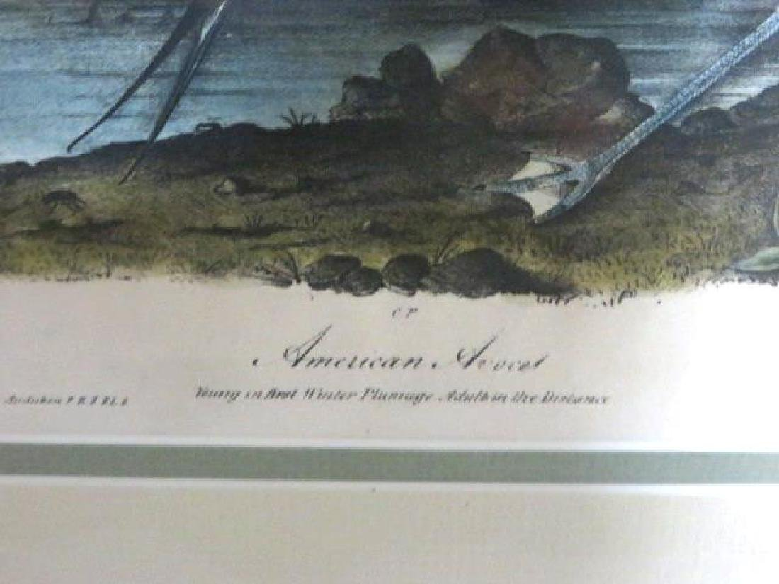 J.J. Audubon. Octavo. American Avocet No.353 - 2