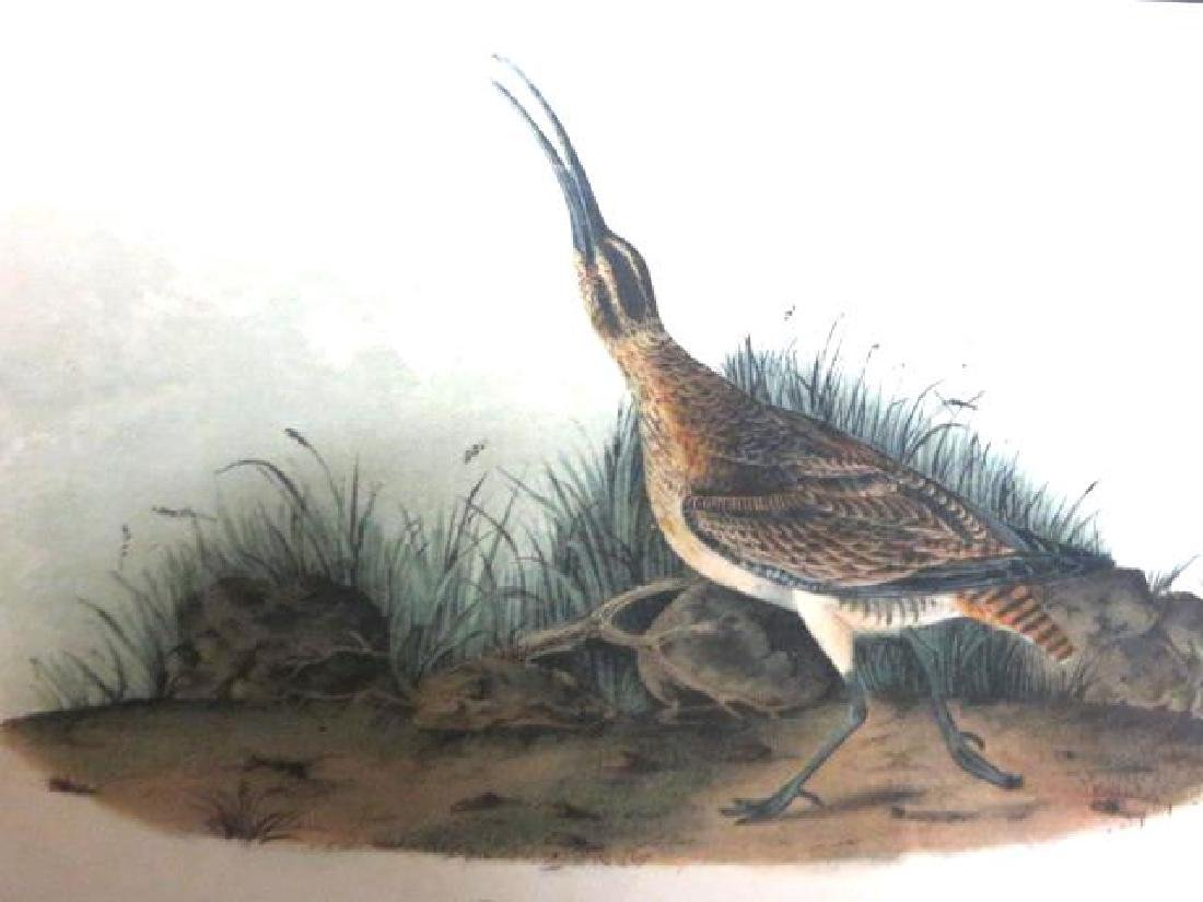 J.J. Audubon. Octavo. Hudsonian Curlew No.356