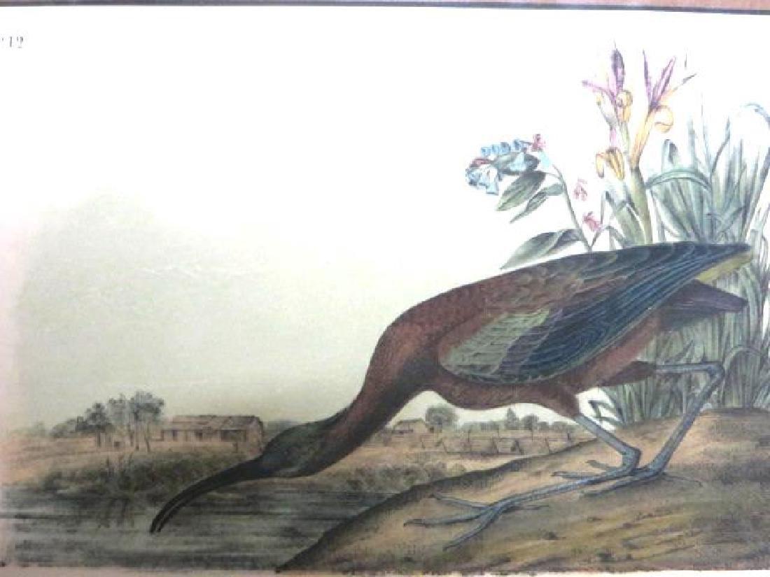 J.J. Audubon. Octavo. Glossy Ibis No.358