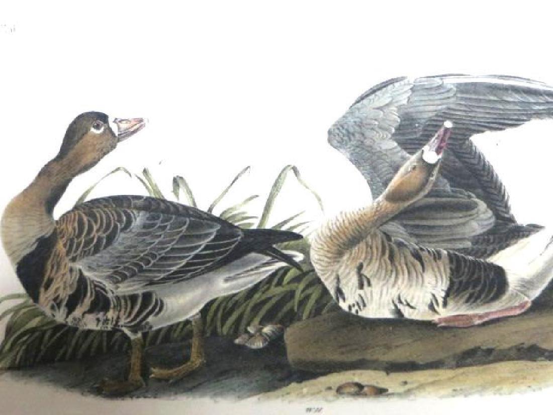 J.J. Audubon. Octavo. White-Fronted Goose No.380