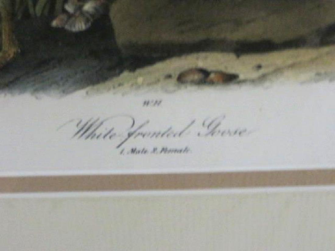 J.J. Audubon. Octavo. White-Fronted Goose No.380 - 2