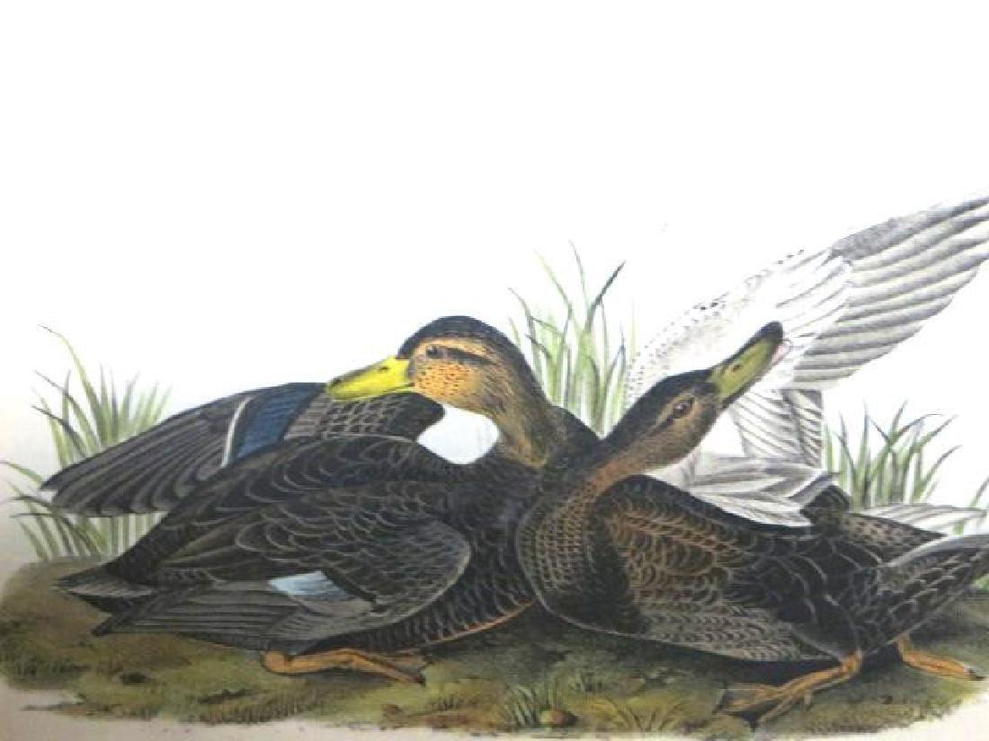 J.J. Audubon. Octavo. Duskey Duck No.386