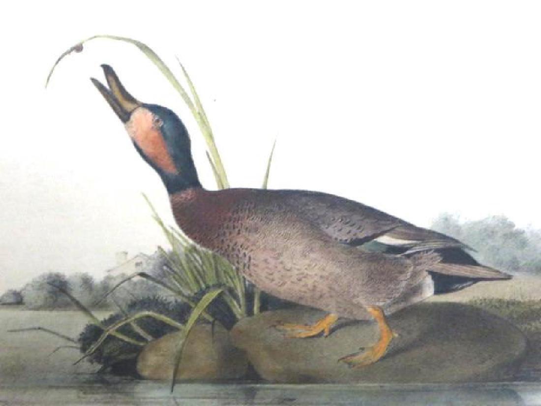 J.J. Audubon. Octavo. Brewers Duck No.387