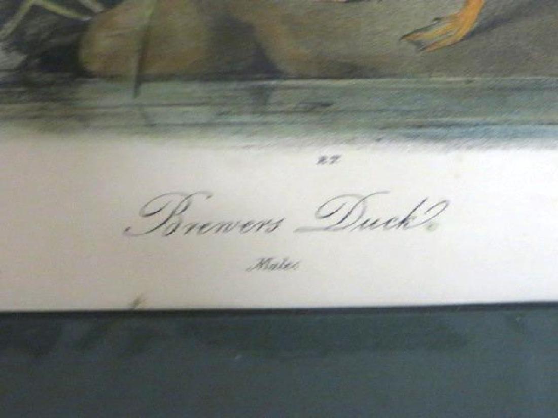 J.J. Audubon. Octavo. Brewers Duck No.387 - 2
