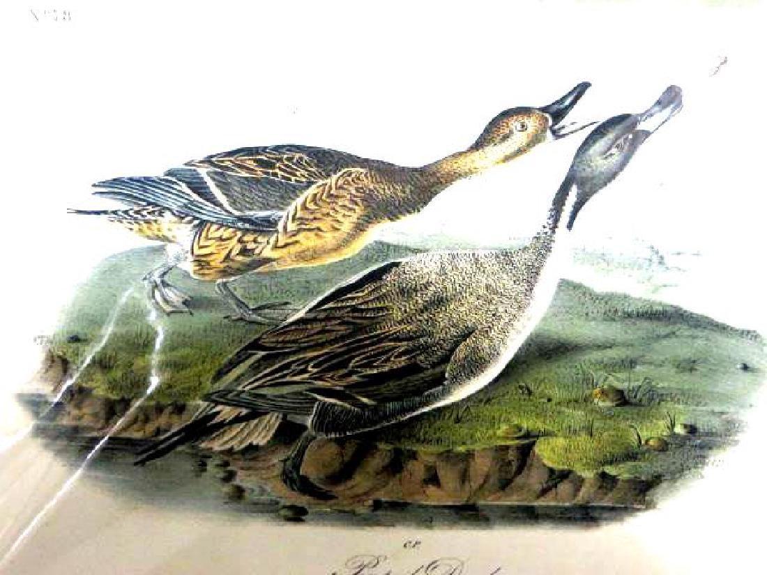 J.J. Audubon. Octavo. Pintail Duck No.390