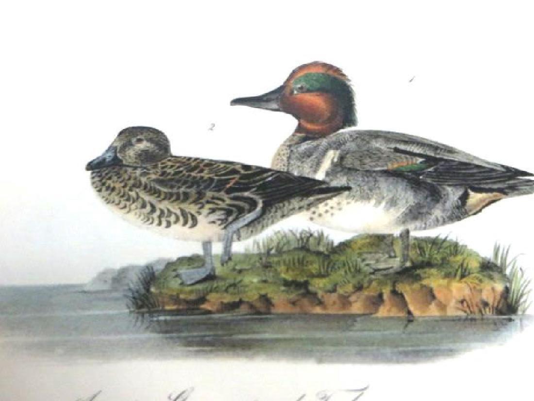 J.J. Audubon. Octavo. American Green Winged Teal No.392