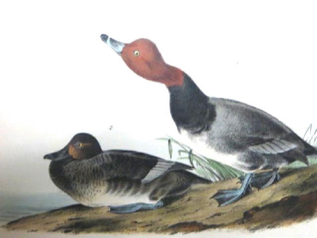 J.J. Audubon. Octavo. Red-Headed Duck No.396