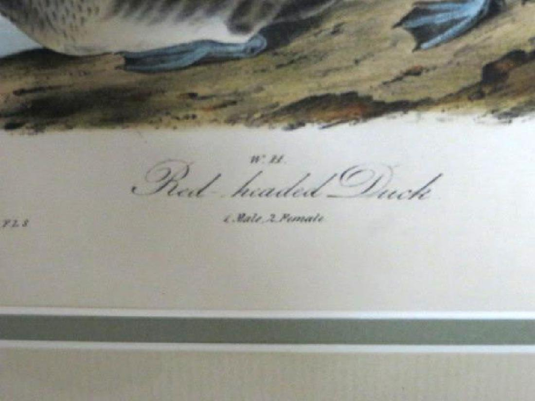 J.J. Audubon. Octavo. Red-Headed Duck No.396 - 2