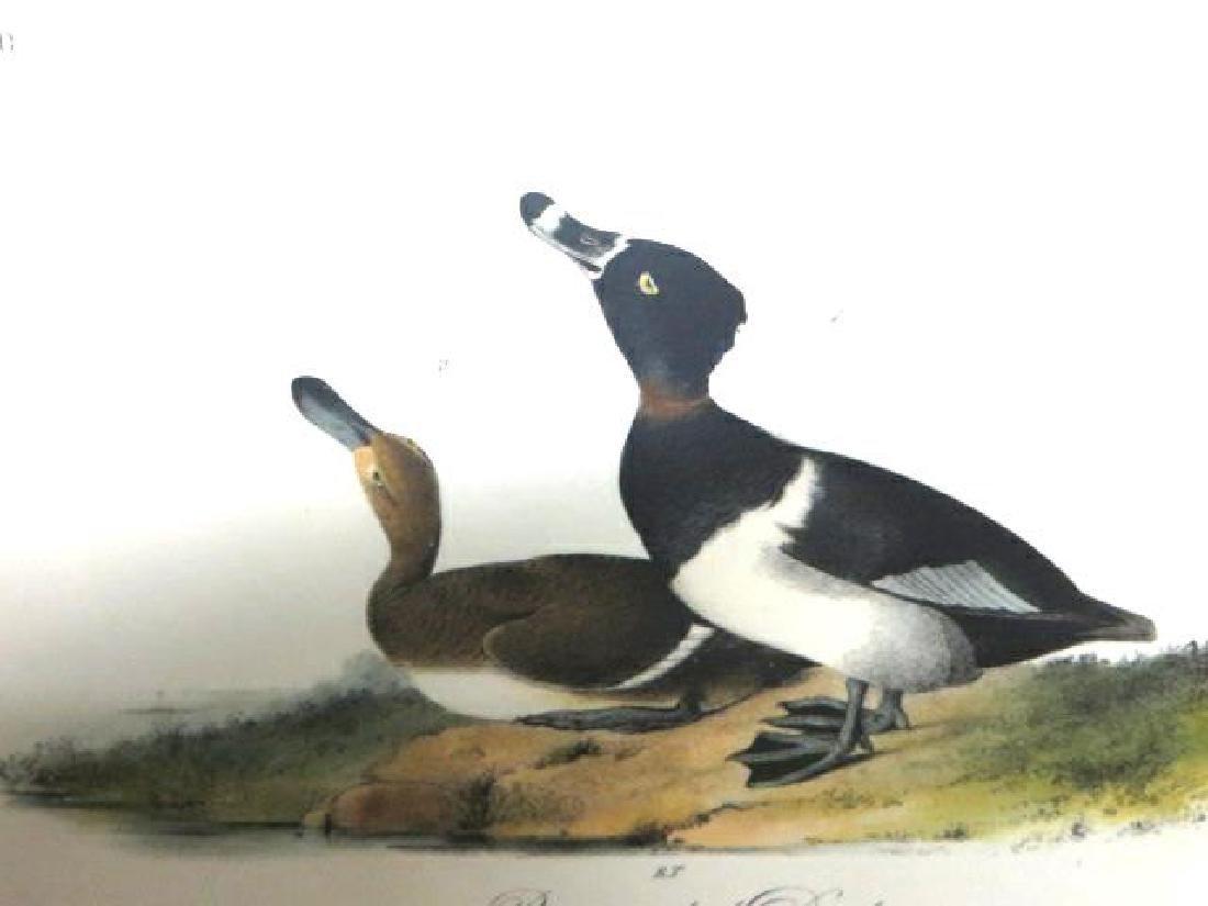 J.J. Audubon. Octavo. Ringed Neck Duck No.398