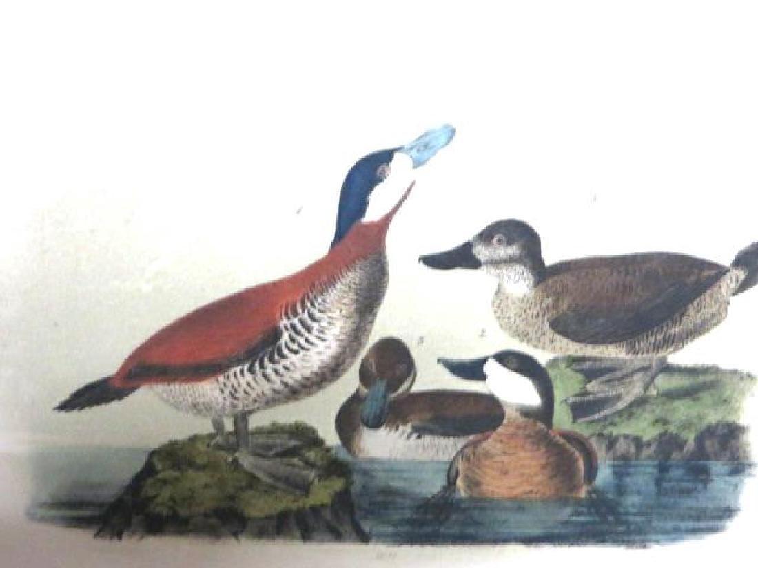 J.J. Audubon. Octavo. Ruddy Duck No.399