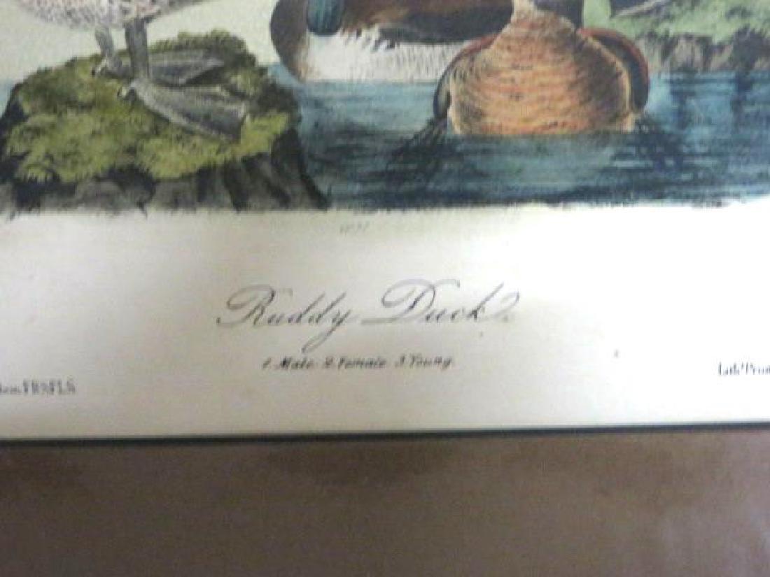 J.J. Audubon. Octavo. Ruddy Duck No.399 - 2