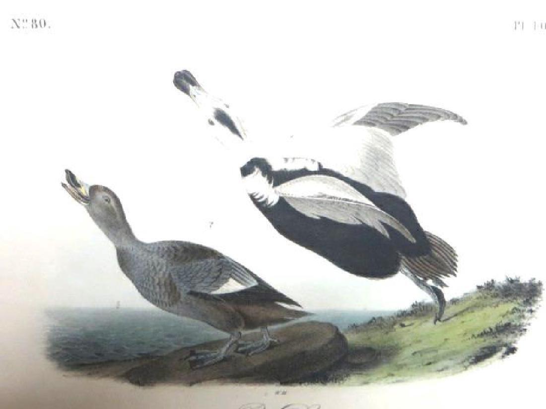J.J. Audubon. Octavo. Pied Duck No.400