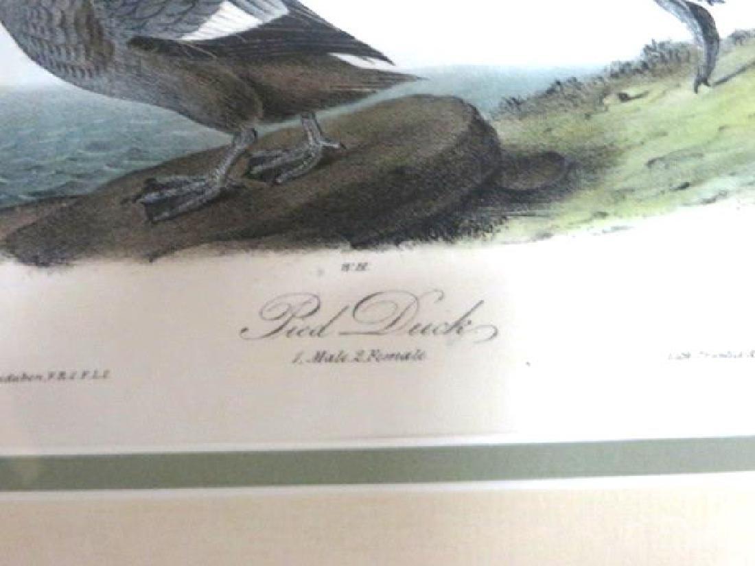 J.J. Audubon. Octavo. Pied Duck No.400 - 2