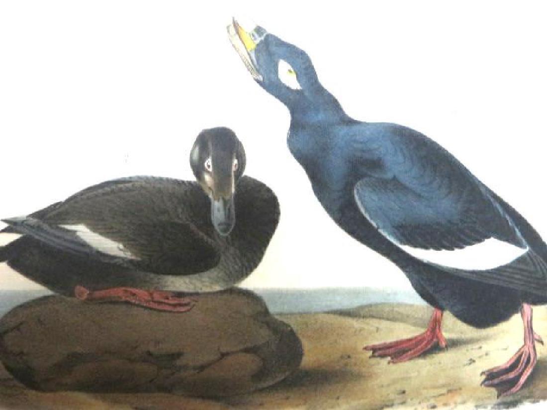 J.J. Audubon. Octavo. Velvet Duck No.401