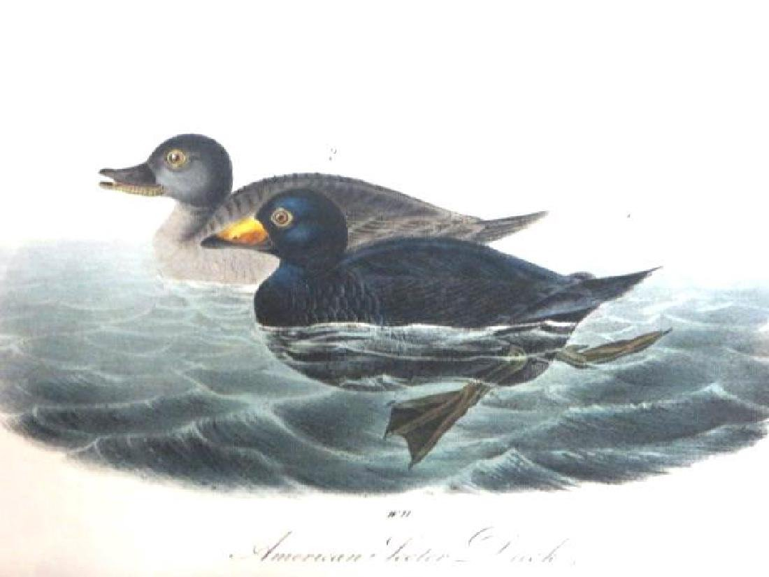 J.J. Audubon. Octavo. American Scoter Duck No.403