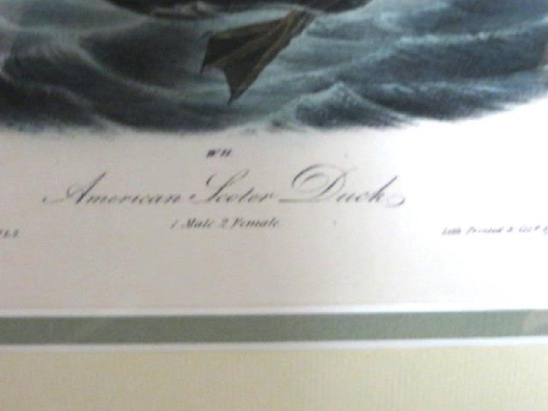 J.J. Audubon. Octavo. American Scoter Duck No.403 - 2